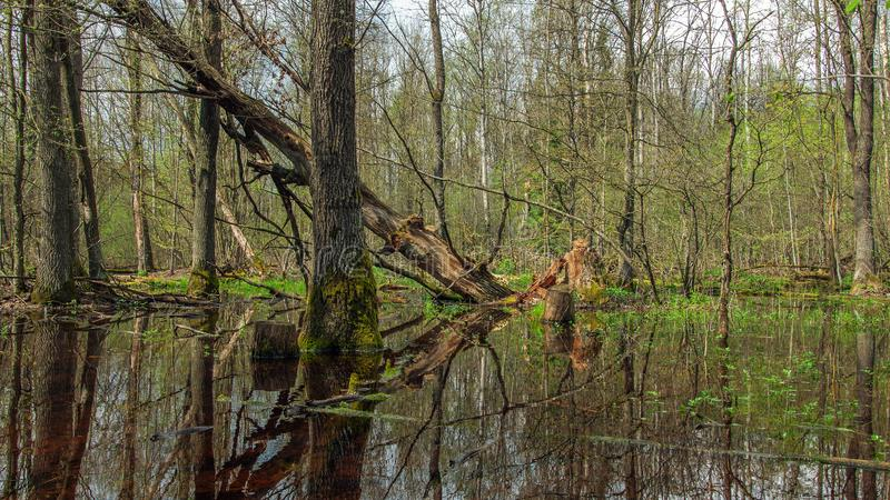 Spring forest swamp. A spring forest swamp with bare and fallen trees and thick thickets royalty free stock images