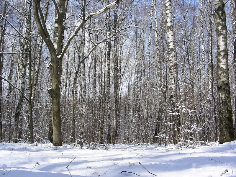 Spring forest of tall bare birches stock photo