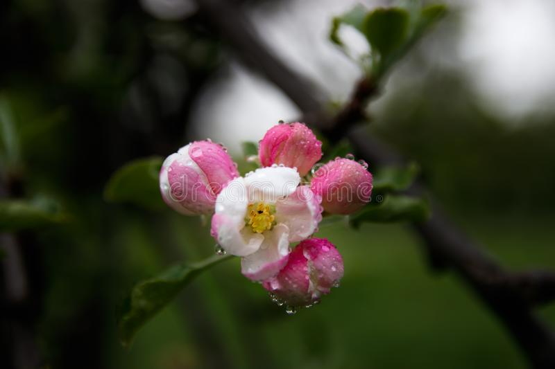 Spring fower buds, blossoming tree flower stock image