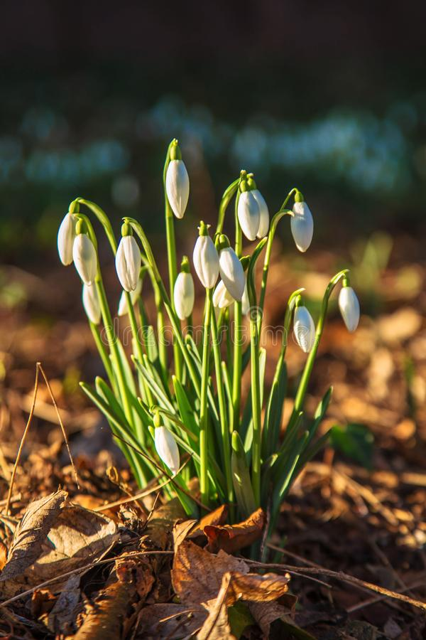Spring fragile white snowdrops flowers on a sunny day stock photo