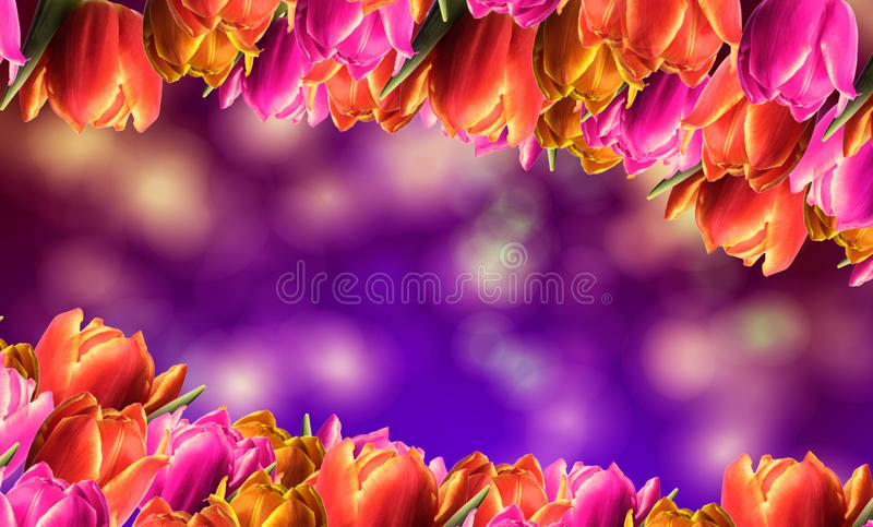 Spring frame with tulips. And a colorful background royalty free stock photos