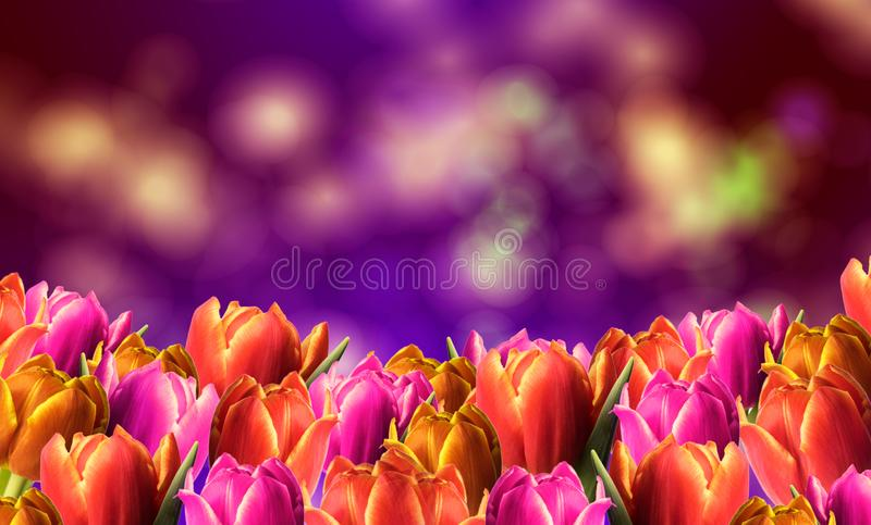 Spring frame with tulips. And a colorful background royalty free stock photo