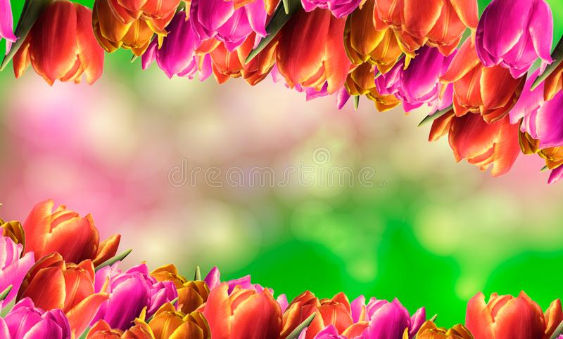 Spring frame with tulips. And a colorful background royalty free stock images