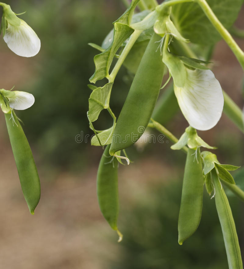 Download Spring Fresh Garden Pea Pods - Organic Vegetables Stock Photo - Image: 15779670