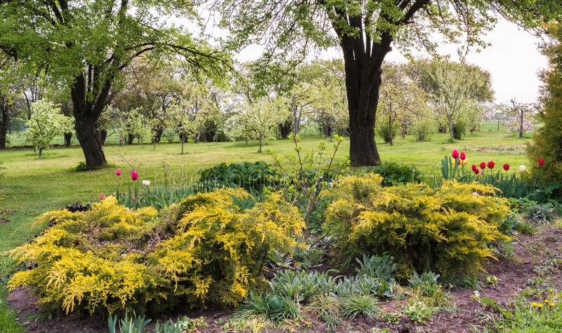 Spring garden and apple orchard blooming behind. Spring garden, flowerbed with plants and yellow cones, flowering tulips, large pear trees at the back and an stock photo