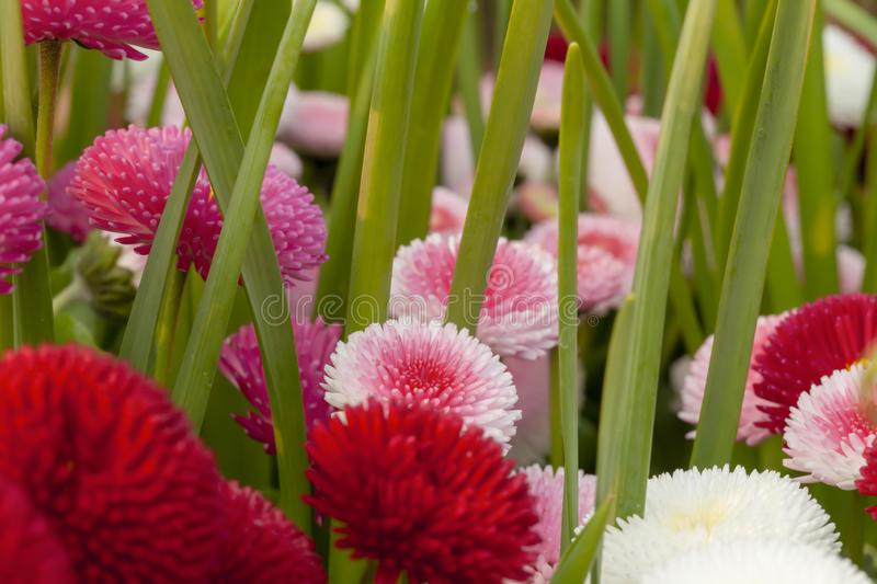 Spring garden Bellis daisies closeup royalty free stock photos