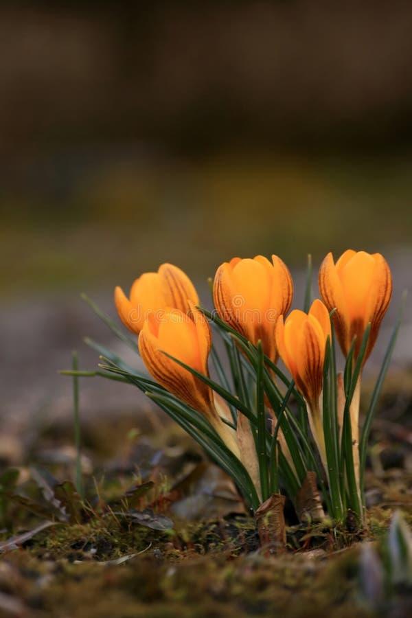 Spring in garden - crocus stock images