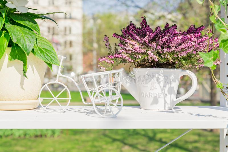Spring garden decoration. White stellage with ceramics flowerpots and decorative bicycle. Blooming violet heather in watering can royalty free stock photo