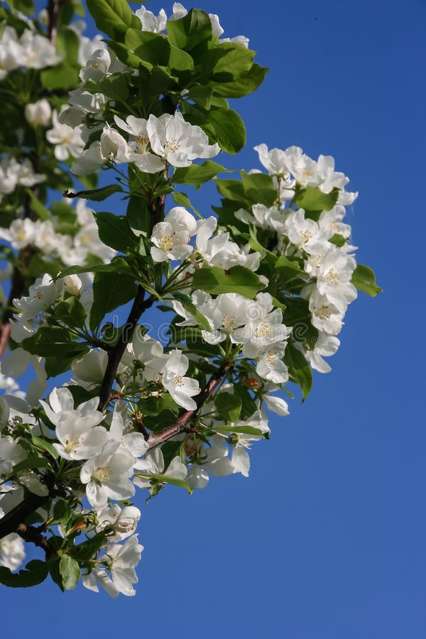 Spring in the garden. Flowering branches of the pear tree on a beautiful blue sky background stock photography