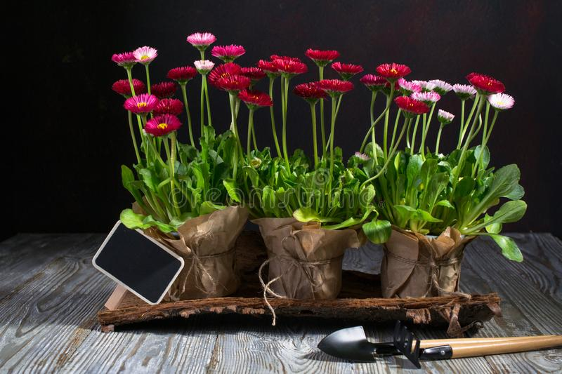 Spring Garden Works Concept. Gardening tools, flowers in pots and watering can on dark table. Spring Garden Works Concept. Gardening tools, flowers in pots and stock photo