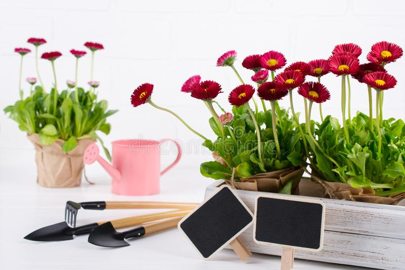 Spring Garden Works Concept. Gardening tools, flowers in pots and watering can on white wooden table. Spring Garden Works Concept. Gardening tools, flowers in stock photos