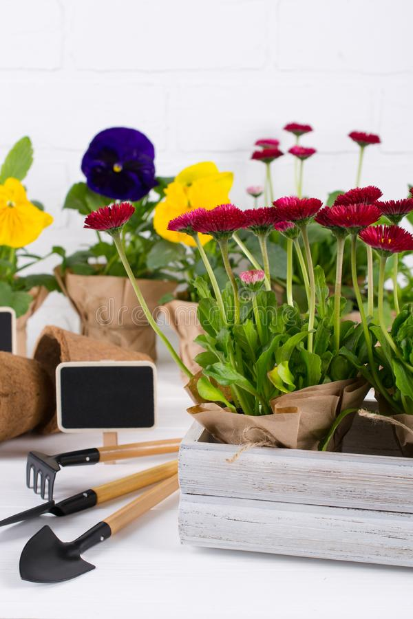 Spring Garden Works Concept. Gardening tools, flowers in pots and watering can on white wooden  table. Spring Garden Works Concept. Gardening tools, flowers in royalty free stock photo