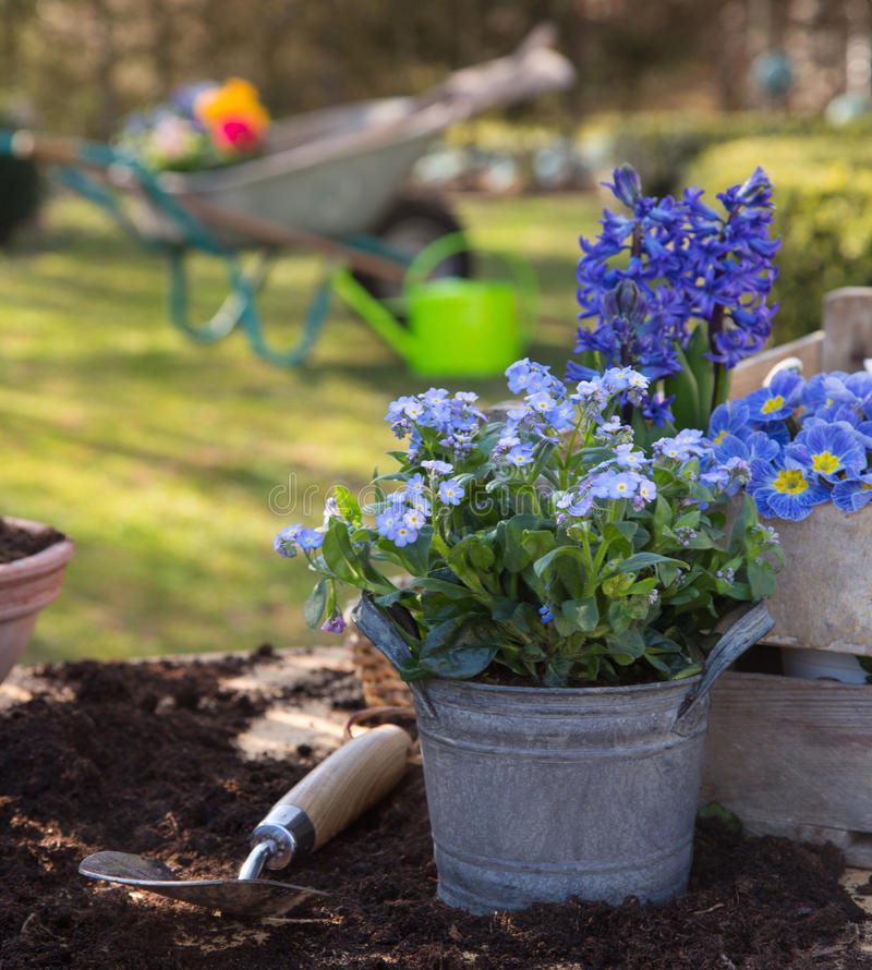 Spring: Gardening in autumn with flowers of primula, hyacinth an stock image