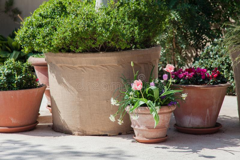 Spring gardening on city streets. Pink tulips and green plants in flower pots outdoor. Scene with blooming flowers. Floral decoration royalty free stock images