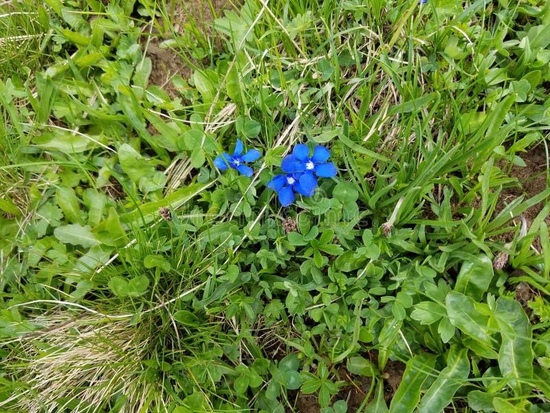 Spring gentian (Gentiana verna) in the Swiss Alps stock image