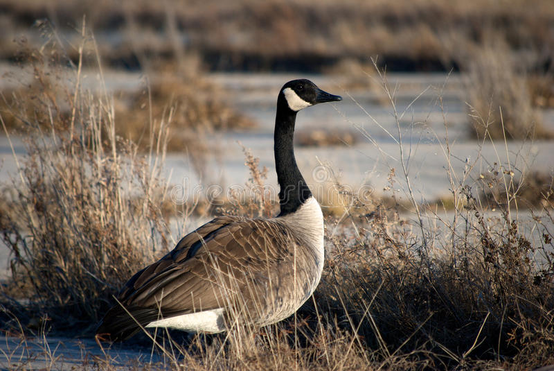 Spring Goose stock photography