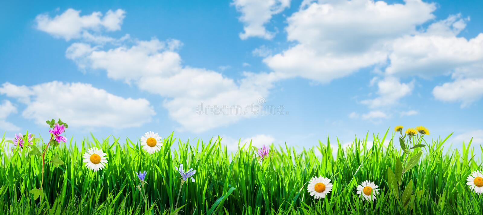Spring grass background. With flowers and grass