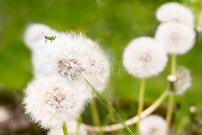 Spring green background-young grasshopper drinking juice from a dandelion. Dandelion and grasshopper close-up on a green royalty free stock photos