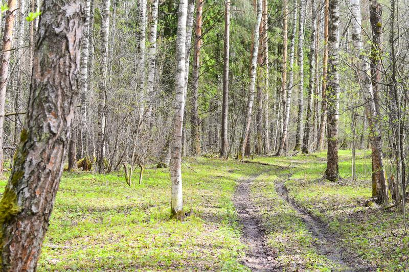 Spring green forest of birch trees with leaves on the branches the sun`s rays. Shine through the branches of trees royalty free stock images