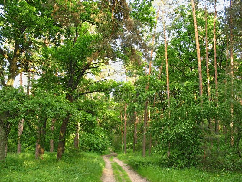 Spring green forest with tall trees and road stock image