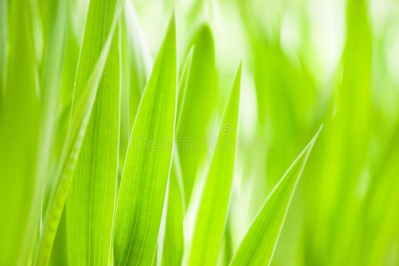 Spring: green grass. Useful as environmental pattern. Large size royalty free stock photography
