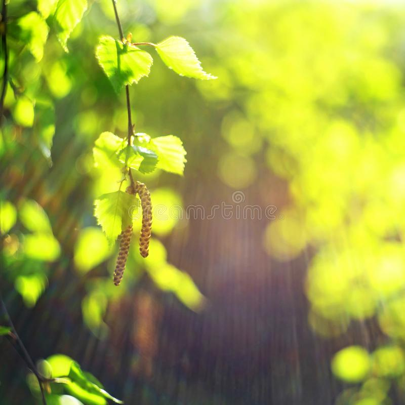 Spring green leaves. Fresh, buds. Springtime nature concept stock photos
