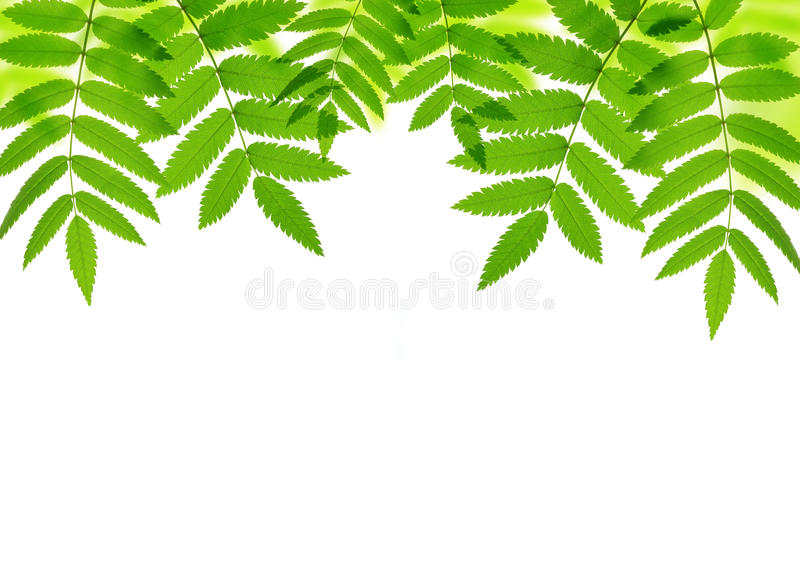 Spring green leaves of tree stock images