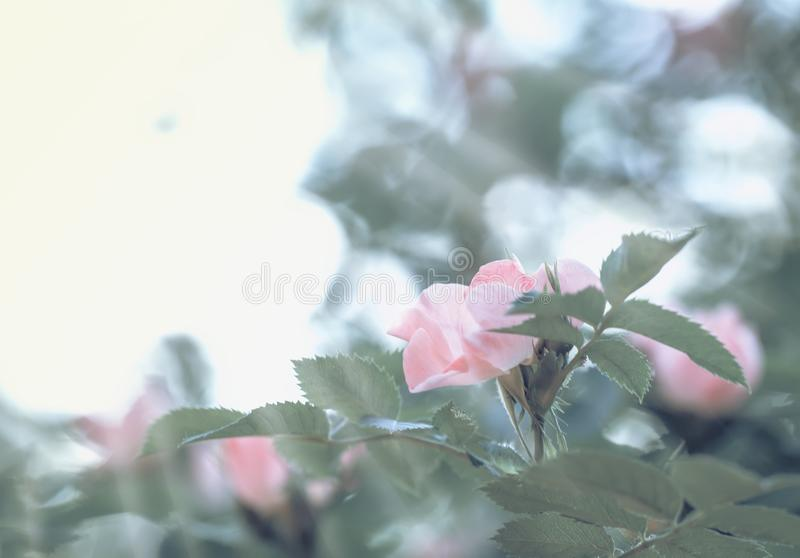 Spring green natural background with pink flowers of wild rose, blurred image, shallow depth of field stock photo