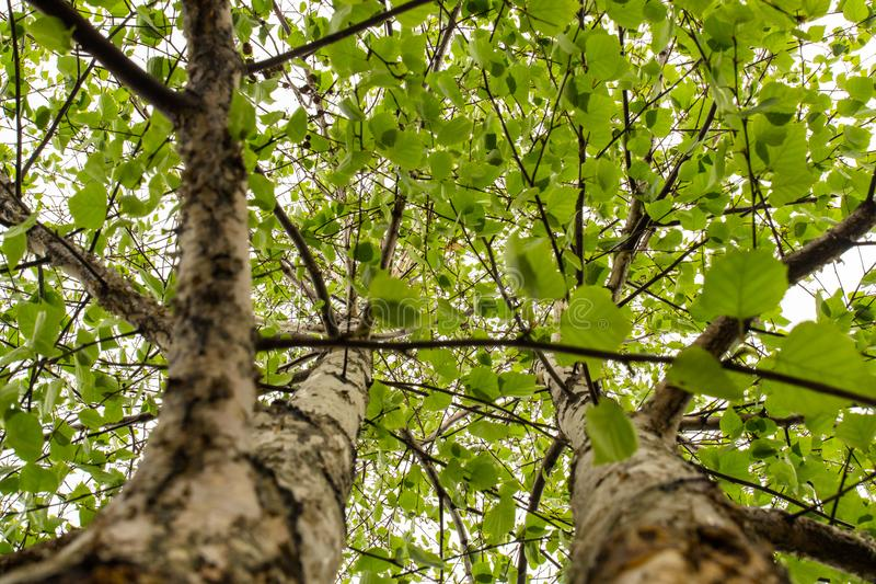 Two spring trees with green leaves perspective view looking up royalty free stock images