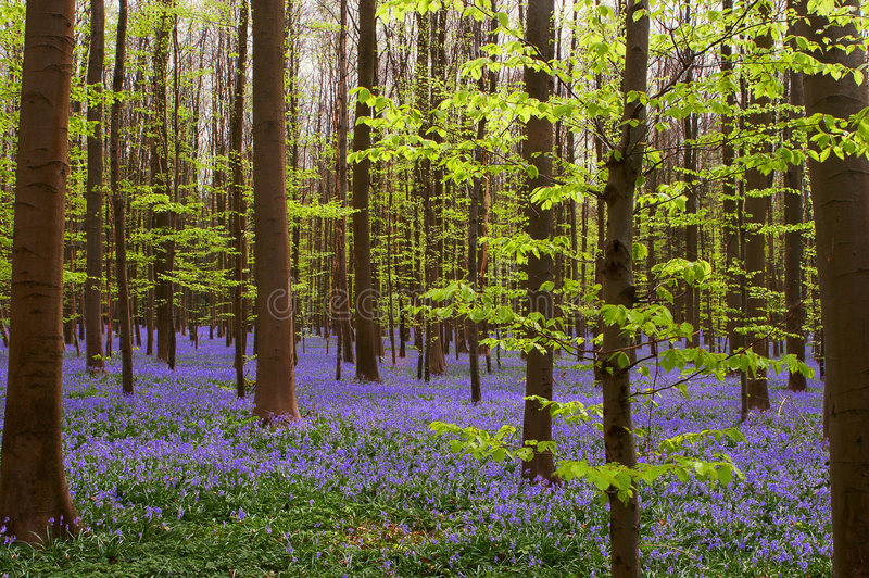 Spring greens and blues. Early spring foliage in a forest covered with wild blue hyacinths stock photos