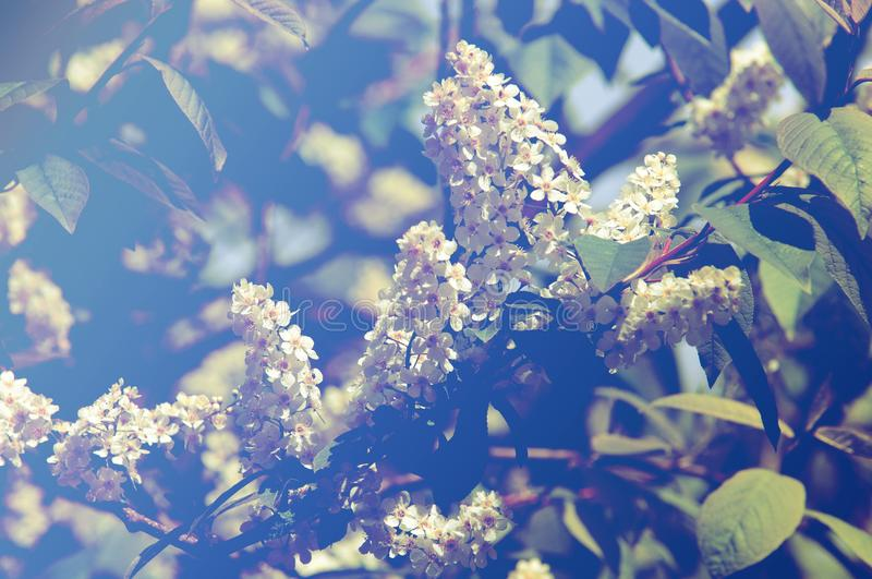 Spring greeting card, blossom bird cherry. Close-up of a turtle royalty free stock photo