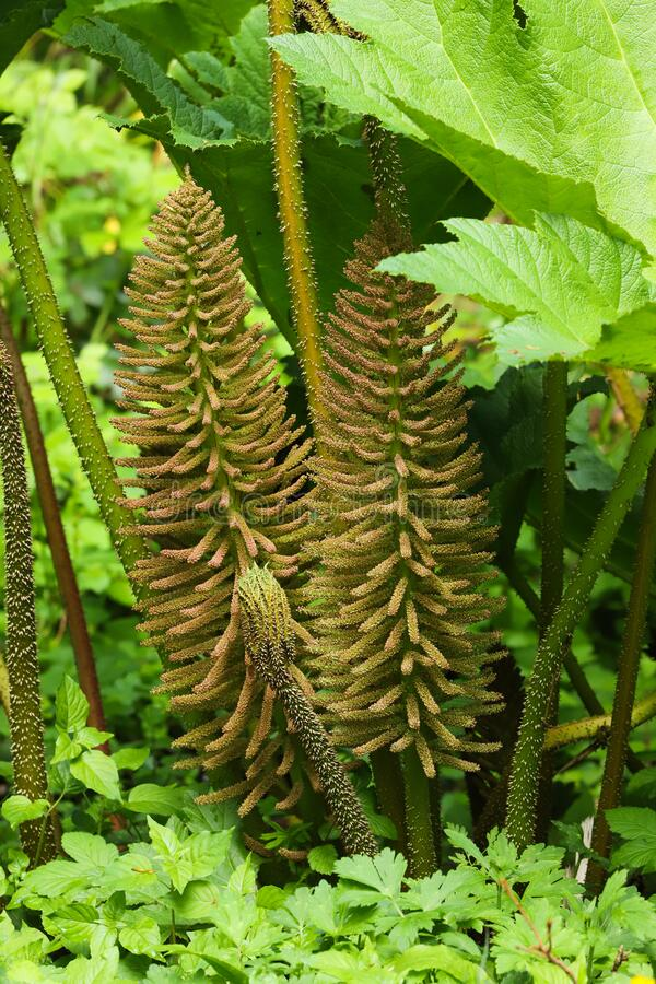 Free Spring Growth Of The Giant Leaves And Flowers Of Gunnera Royalty Free Stock Images - 183734489