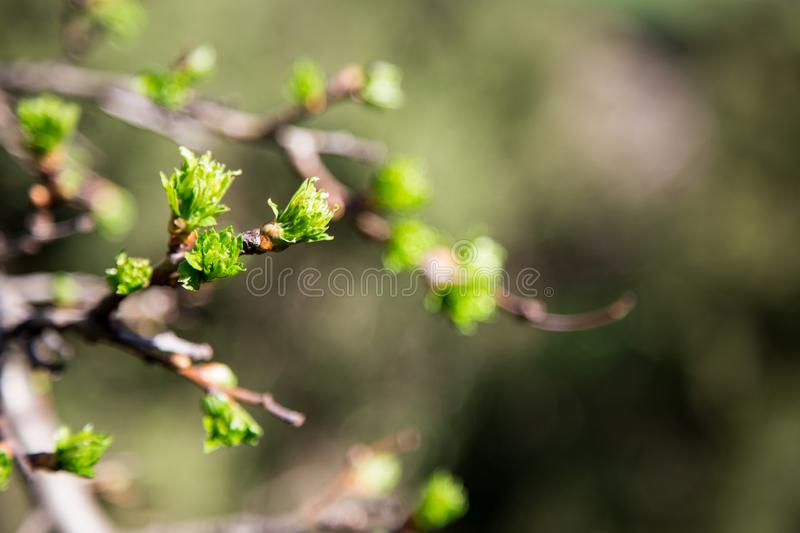 Spring has come. delicate young spring leaves. A symbol of new life, hope, new business royalty free stock photo