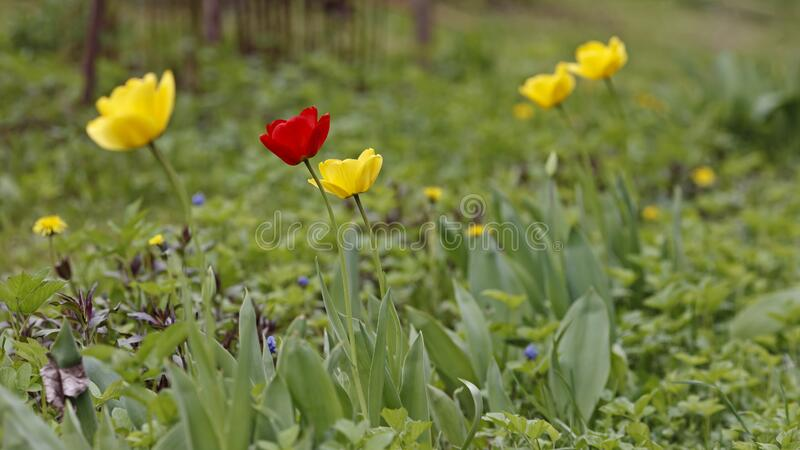 Spring has come and tulips are blooming in the garden. stock photo