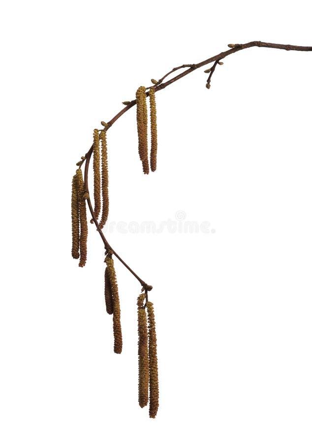 Spring hazel catkins isolated over white background. Corylus avellana - closeup of catkins royalty free stock photos