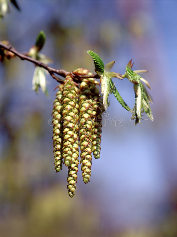 Spring - Hazel Catkins. Hazel Catkins are situated against the bright nature background. Hazel (Corylus avellana) is one of the first trees to flower in early stock photography