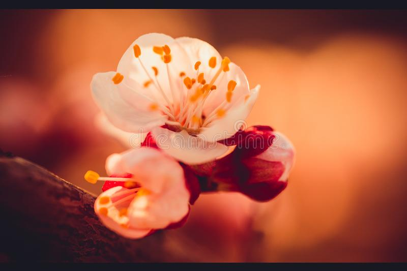 Spring is here. Apricot flowers and blossoms in a spring evening. close up flowers stock photography
