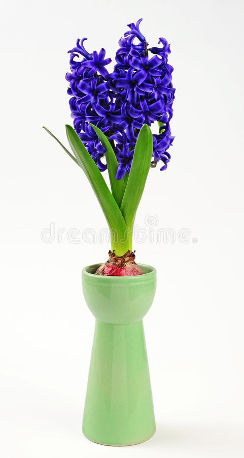 Spring hyacinth in hyacinth glass royalty free stock photography