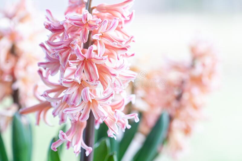 Spring hyacinth in pastel peach color royalty free stock image