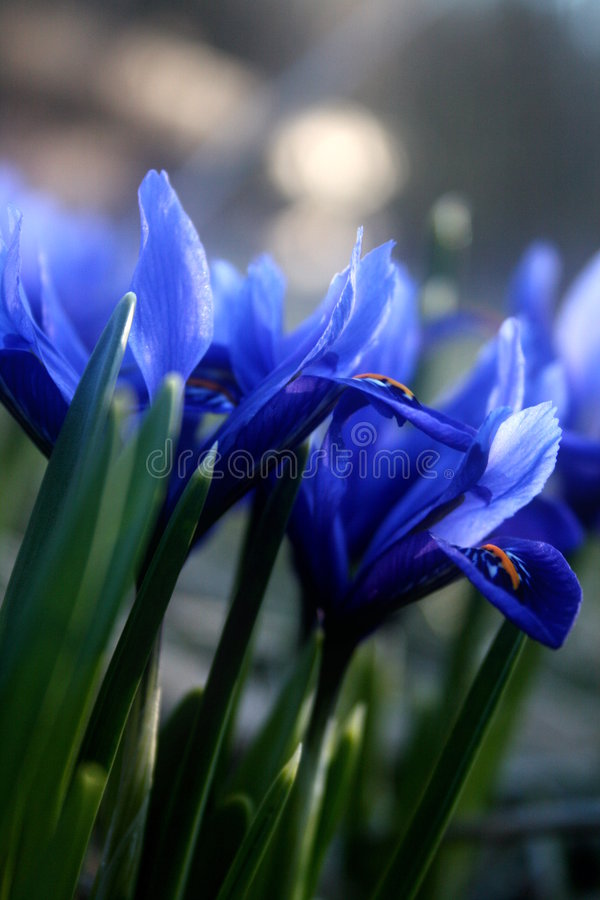 Download Spring Iris In Bloom Stock Image - Image: 4932951