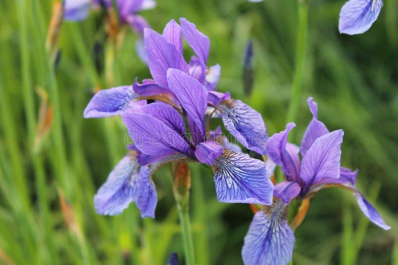 Spring irises in the Carpathians.  stock photo