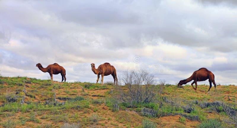 Spring in the Karakum desert. Turkmenistan, сamels graze in the Karakum desert. Near the village of Erbent.  The desert occupies stock image