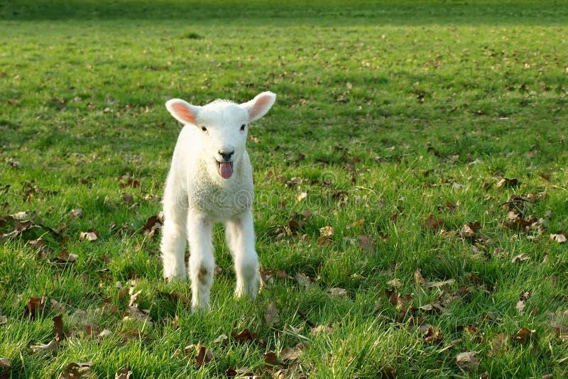 Download Spring Lamb stock image. Image of farming, farm, farmland - 10519299