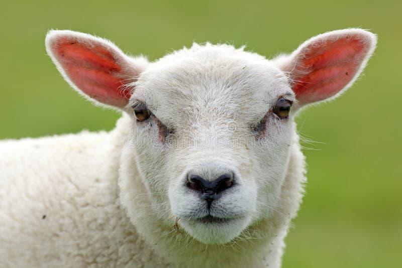 Download Spring lamb stock photo. Image of netherlands, farm, portrait - 23930950