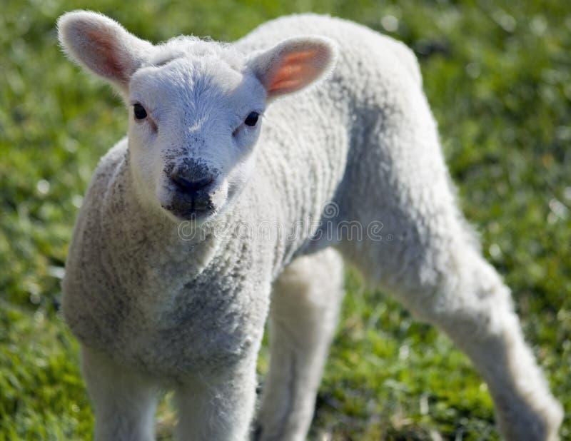 Download Spring lamb stock photo. Image of gaze, meat, mammal, green - 9420306