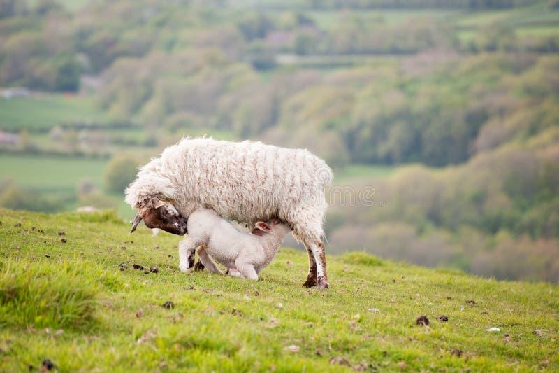 Spring Lamb And Ewe Mother Royalty Free Stock Photos