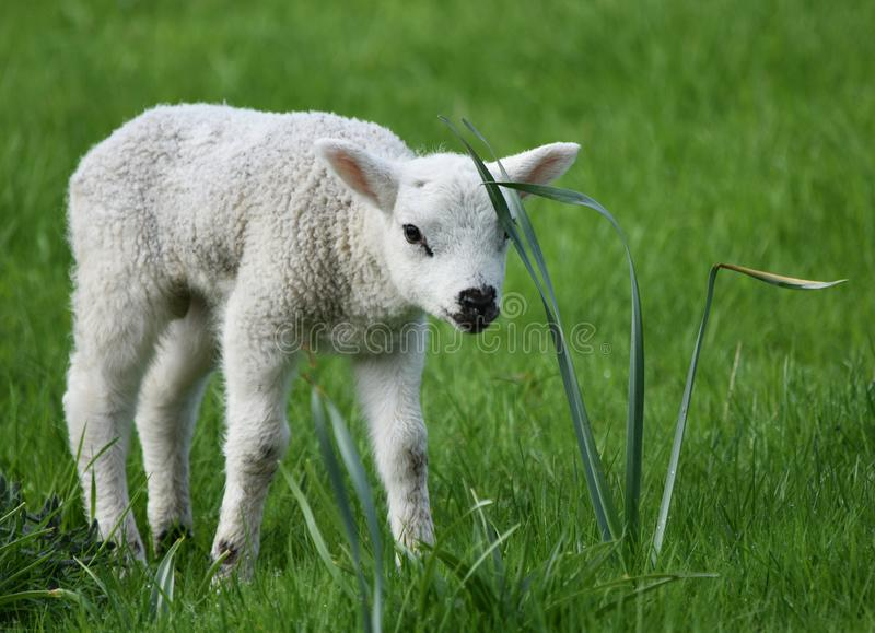 Spring Lamb in a meadow royalty free stock image