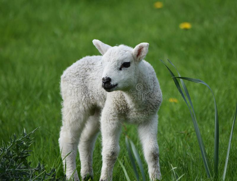 Spring Lamb in a meadow stock photography