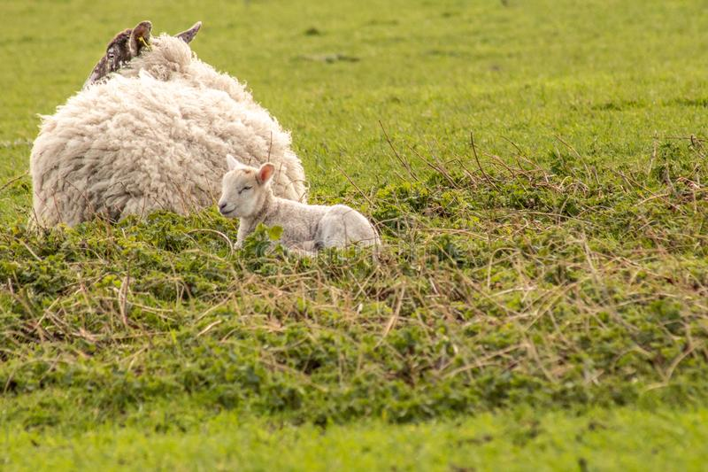 Spring lamb with mother stock images