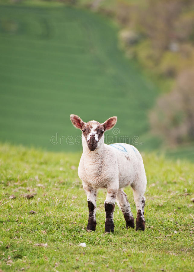 Spring Lamb In Spring Rural Farm Landscape Stock Photography